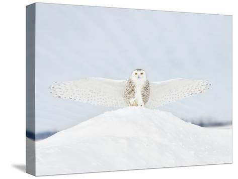 Owl in Flight III-PHBurchett-Stretched Canvas Print
