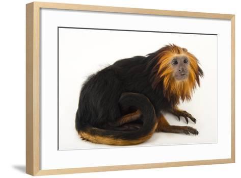 An Endangered Golden-Headed Lion Tamarin, Leontopithecus Chrysomelas, at the Dallas World Aquarium-Joel Sartore-Framed Art Print