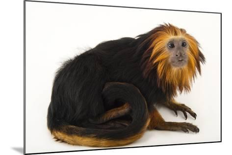 An Endangered Golden-Headed Lion Tamarin, Leontopithecus Chrysomelas, at the Dallas World Aquarium-Joel Sartore-Mounted Photographic Print