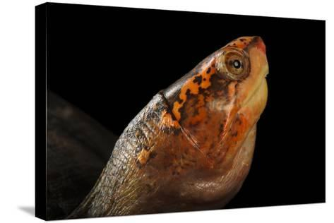A Red-Cheeked Mud Turtle, Kinosternon Scorpioides Cruentatum-Joel Sartore-Stretched Canvas Print