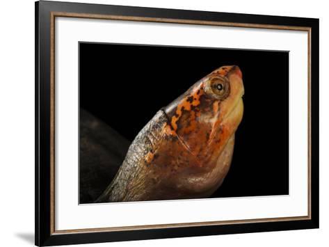 A Red-Cheeked Mud Turtle, Kinosternon Scorpioides Cruentatum-Joel Sartore-Framed Art Print