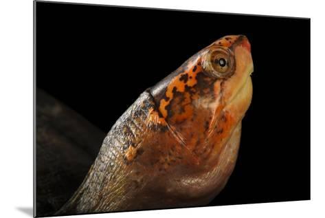 A Red-Cheeked Mud Turtle, Kinosternon Scorpioides Cruentatum-Joel Sartore-Mounted Photographic Print