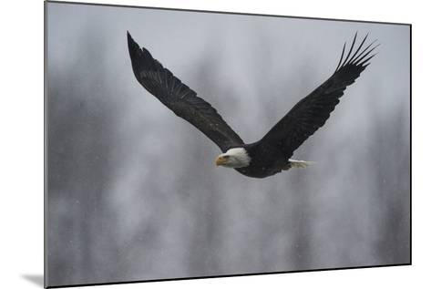 Portrait of a Bald Eagle, Haliaeetus Leucocephalus, in Flight in a Snow Shower-Bob Smith-Mounted Photographic Print