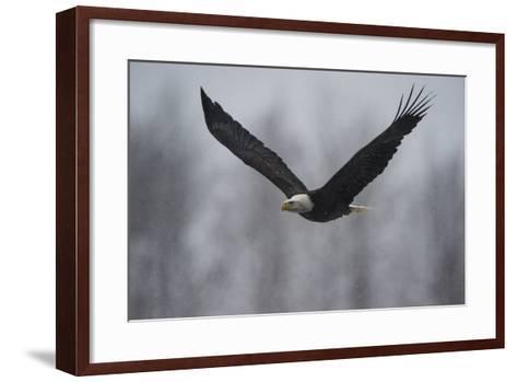Portrait of a Bald Eagle, Haliaeetus Leucocephalus, in Flight in a Snow Shower-Bob Smith-Framed Art Print