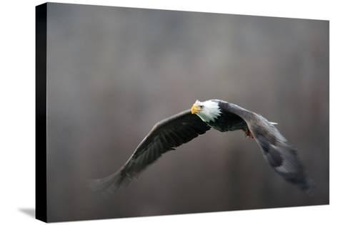 Portrait of a Bald Eagle, Haliaeetus Leucocephalus, in Flight, with Something in its Talons-Bob Smith-Stretched Canvas Print