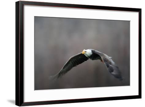 Portrait of a Bald Eagle, Haliaeetus Leucocephalus, in Flight, with Something in its Talons-Bob Smith-Framed Art Print