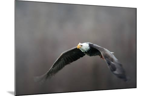Portrait of a Bald Eagle, Haliaeetus Leucocephalus, in Flight, with Something in its Talons-Bob Smith-Mounted Photographic Print