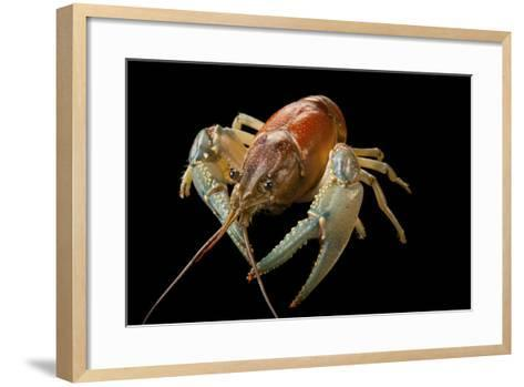 A Virile Crayfish, Orconectes Virilis, from Leech Lake in Minnesota-Joel Sartore-Framed Art Print