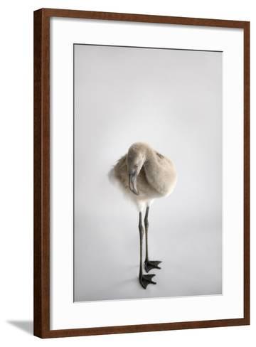 A Chilean Flamingo Chick, Phoenicopterus Chilensis-Joel Sartore-Framed Art Print