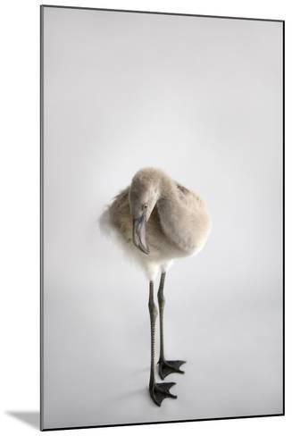 A Chilean Flamingo Chick, Phoenicopterus Chilensis-Joel Sartore-Mounted Photographic Print