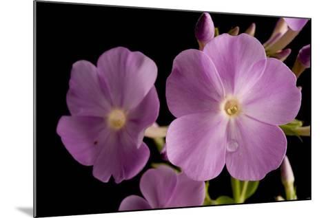 A Meadow Phlox, Phlox Maculata-Joel Sartore-Mounted Photographic Print