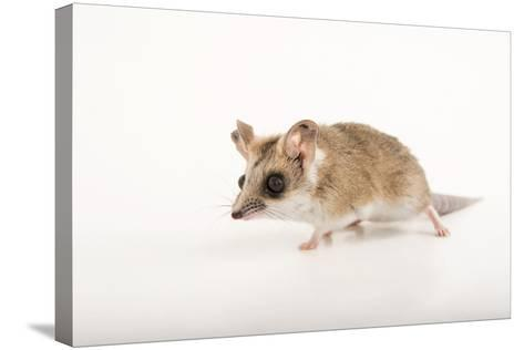 A Fat-Tailed Dunnart, Sminthopsis Crassicaudata, at the Wild Life Sydney Zoo-Joel Sartore-Stretched Canvas Print