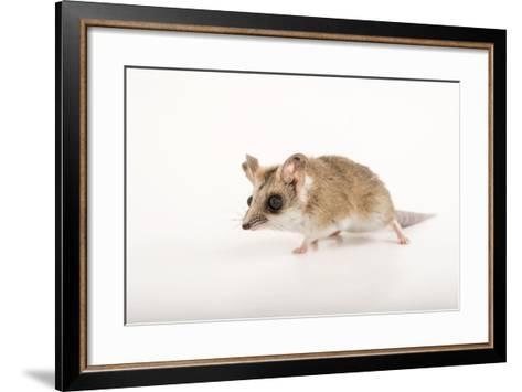 A Fat-Tailed Dunnart, Sminthopsis Crassicaudata, at the Wild Life Sydney Zoo-Joel Sartore-Framed Art Print