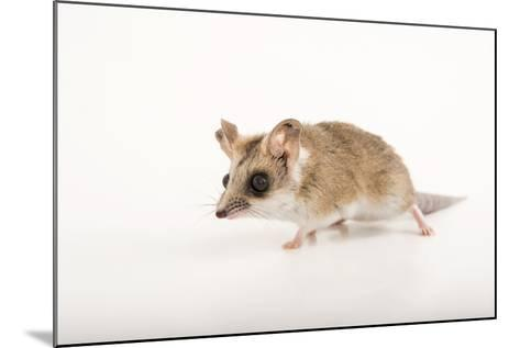 A Fat-Tailed Dunnart, Sminthopsis Crassicaudata, at the Wild Life Sydney Zoo-Joel Sartore-Mounted Photographic Print