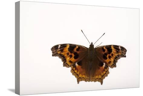 A Compton Tortoiseshell Butterfly, Nymphalis Vaualbum, from Cross Lake, Minnesota-Joel Sartore-Stretched Canvas Print