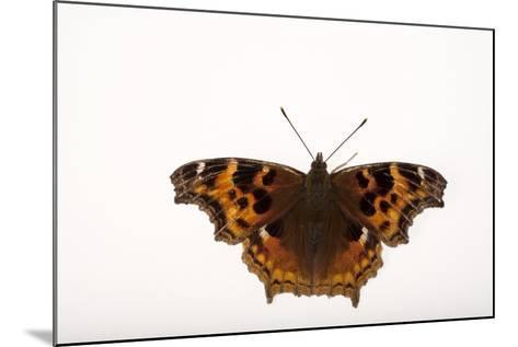 A Compton Tortoiseshell Butterfly, Nymphalis Vaualbum, from Cross Lake, Minnesota-Joel Sartore-Mounted Photographic Print