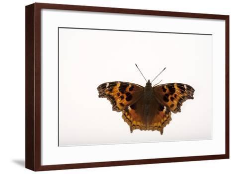 A Compton Tortoiseshell Butterfly, Nymphalis Vaualbum, from Cross Lake, Minnesota-Joel Sartore-Framed Art Print