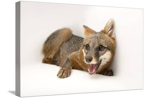 A Female Gray Fox, Urocyon Cinereoargenteus, at the St. Francis Wildlife Association-Joel Sartore-Stretched Canvas Print