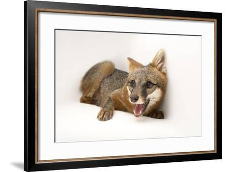 A Female Gray Fox, Urocyon Cinereoargenteus, at the St. Francis Wildlife Association-Joel Sartore-Framed Art Print