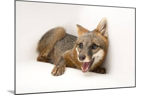 A Female Gray Fox, Urocyon Cinereoargenteus, at the St. Francis Wildlife Association-Joel Sartore-Mounted Photographic Print