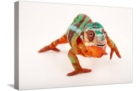 A Male Panther Chameleon, Furcifer Pardalis, at the Dallas World Aquarium-Joel Sartore-Stretched Canvas Print