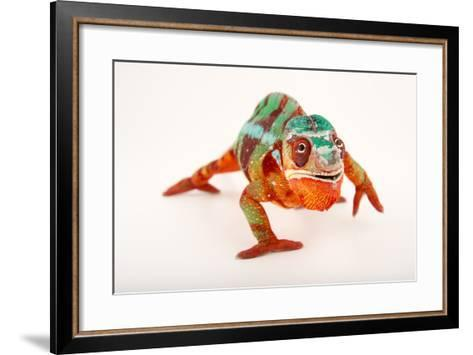 A Male Panther Chameleon, Furcifer Pardalis, at the Dallas World Aquarium-Joel Sartore-Framed Art Print