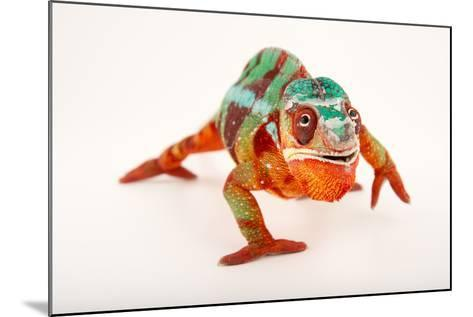 A Male Panther Chameleon, Furcifer Pardalis, at the Dallas World Aquarium-Joel Sartore-Mounted Photographic Print