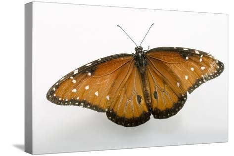 A Queen Butterfly, Danaus Gilippus, at the Minnesota Zoo-Joel Sartore-Stretched Canvas Print