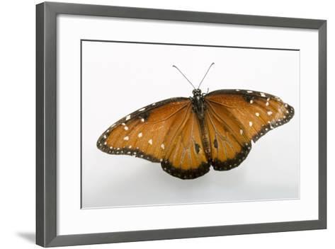 A Queen Butterfly, Danaus Gilippus, at the Minnesota Zoo-Joel Sartore-Framed Art Print