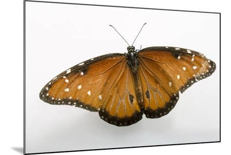 A Queen Butterfly, Danaus Gilippus, at the Minnesota Zoo-Joel Sartore-Mounted Photographic Print