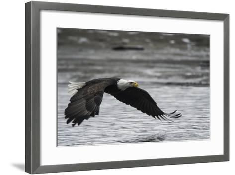 Portrait of a Bald Eagle, Haliaeetus Leucocephalus, Flying Low over the Chilkat River-Bob Smith-Framed Art Print