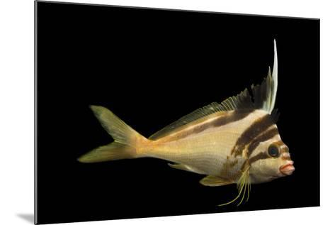 A Western Crested Morwong, Cheilodactylus Gibbosus, at Omaha's Henry Doorly Zoo and Aquarium-Joel Sartore-Mounted Photographic Print