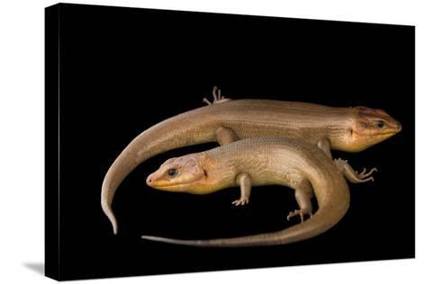 Broad-Headed Skinks, Plestiodon Laticeps-Joel Sartore-Stretched Canvas Print