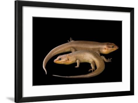 Broad-Headed Skinks, Plestiodon Laticeps-Joel Sartore-Framed Art Print