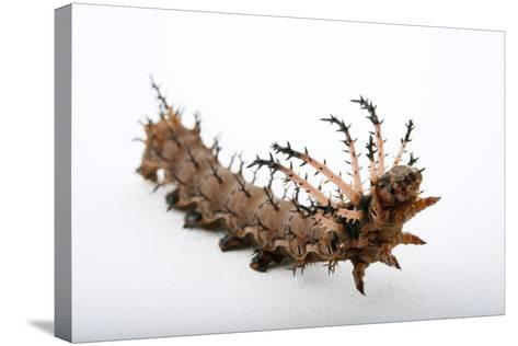 A Hickory Horned Devil Caterpillar-Joel Sartore-Stretched Canvas Print