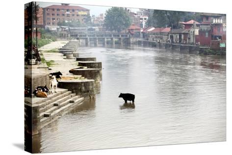 A Cow Stands in the Bagmati River Running Through Kathmandu-Jill Schneider-Stretched Canvas Print