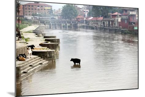 A Cow Stands in the Bagmati River Running Through Kathmandu-Jill Schneider-Mounted Photographic Print