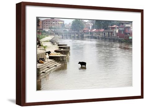 A Cow Stands in the Bagmati River Running Through Kathmandu-Jill Schneider-Framed Art Print