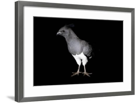 A White-Bellied Go-Away Bird, Corythaixoides Leucogaster-Joel Sartore-Framed Art Print