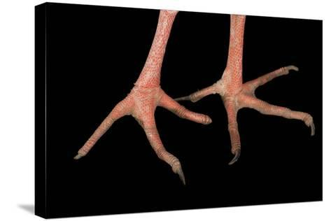 The Feet of a Southern Screamer, Chauna Torquata, at the Kansas City Zoo-Joel Sartore-Stretched Canvas Print