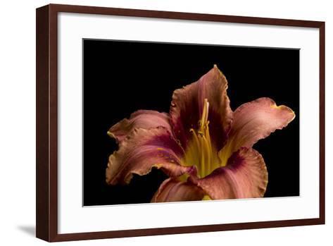 A Burgundy Day Lily, Hemerocallis Species-Joel Sartore-Framed Art Print