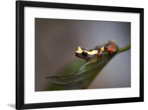 A Clown Frog, Dendropsophus Bifurcus, Sits on a Leaf Near Quito-Joel Sartore-Framed Art Print
