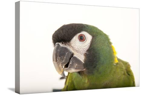 A Yellow-Collared Macaw, Ara Auricollis, at Omaha's Henry Doorly Zoo and Aquarium-Joel Sartore-Stretched Canvas Print