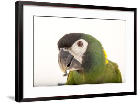 A Yellow-Collared Macaw, Ara Auricollis, at Omaha's Henry Doorly Zoo and Aquarium-Joel Sartore-Framed Art Print