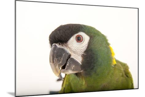 A Yellow-Collared Macaw, Ara Auricollis, at Omaha's Henry Doorly Zoo and Aquarium-Joel Sartore-Mounted Photographic Print
