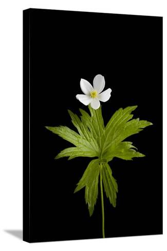 A Canada Anemone Plant, Anemone Canadensis-Joel Sartore-Stretched Canvas Print