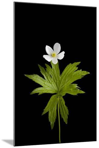 A Canada Anemone Plant, Anemone Canadensis-Joel Sartore-Mounted Photographic Print