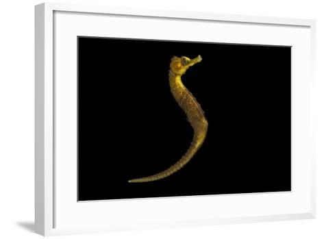 A Long-Snouted Seahorse, Hippocampus Reidi, at Omaha's Henry Doorly Zoo and Aquarium-Joel Sartore-Framed Art Print