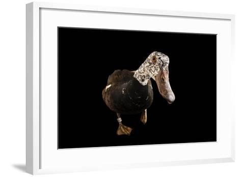 A White-Winged Wood Duck, Asarcornis Scutulata, at the Omaha Henry Doorly Zoo-Joel Sartore-Framed Art Print
