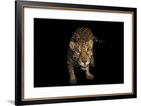 A Federally Endangered Ten-Year-Old Female Jaguar, Panthera Onca, at the Dallas World Aquarium-Joel Sartore-Framed Art Print